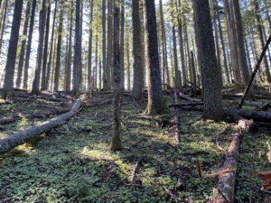 Blowdowns through the forest